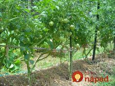 Najlepšia rada, ako zvýšiť úrodu rajčín: Čím skôr každú rajčinu takto upravte a pomôžete jej k omnoho väčšej úrode! Gardening, Fruit, Vegetables, Father, Belle, Pai, Lawn And Garden, Vegetable Recipes, Dads