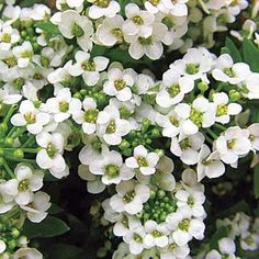 Sweet Alyssum planted with potatoes, broccoli, beans, corn, and eggplant will attract predatory wasps and hoverflies, which devour aphids. | Photo: Blickwinkel/Alamy | thisoldhouse.com