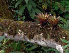 Bromeliads growing on a tree