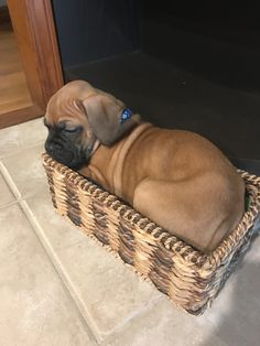 "Determine even more relevant information on ""Boxer Dogs"". Check out our site. Boxer Puppies, Cute Puppies, Cute Dogs, Dogs And Puppies, Doggies, Boxer Breed, Mastiff Puppies, Dogs 101, Boxer And Baby"