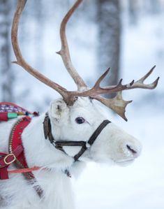 Of the reindeer of Santa Claus Pretty Animals, Animals Beautiful, Cute Animals, Christmas Scenes, Christmas Animals, Christmas Tables, Rennes Animal, Santa Claus Village, Winter Wonderland Christmas