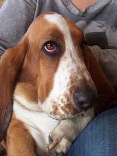 Did you know? Basset Hounds cannot swim.http://www.facebook.com/photo.php?fbid=538762869479405=a.176152399073789.35461.106862209336142=1