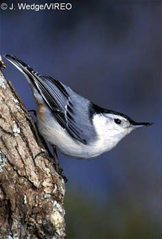 pictures of white breasted nuthatch - Google Search