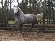 irish sport horse - Google Search