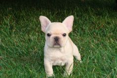 French bulldog, they are kinda redic.  Way cute though!!