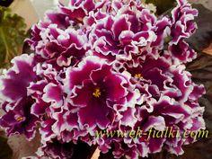 ЕК-Перуанская Лилия.Очень крупные махровые пурпурно-вишнёвые цветы-лилии с красиво загнутыми внутрь лепестками, отороченными широкой белой каймой. Выставочная розетка из насыщенно-зелёных зубчатых листьев.