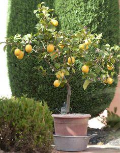 Der Zitronenbaum ist der absolute Lieblings-Exot für Terrasse und Balkon. Seine gelben Früchte und der frische Duft lassen jeden Besucher in Urlaubsträumen schwelgen. So pflanzen und pflegen Sie die Zitruspflanze. #zitrone #zitruspflanze