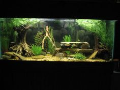 75 Gallon American Cichlid Tank  2 Blue Acara  1 Green Sev  9 Firemouth Meekis (growing out)  8 Tiger Barbs  2 BN plecos  3 julli (trilineatus) cories