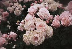roses bosquet