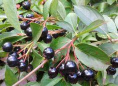 Black Chokeberry/Aronia melanocarpa
