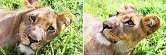 Lion by 22 Design & Photo