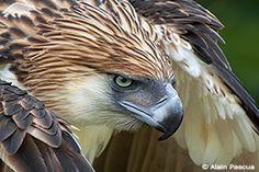 Filipino eagle. On the edge of existence. I think they have the most amazing faces - full of intelligence. I want one tattooed on my back.
