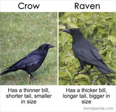 39 Things Most Of Us Think Are The Same But Actually Aren't - Chaostrophic Animals And Pets, Baby Animals, Funny Animals, Cute Animals, Raven And Wolf, Maryland, Interesting Facts About World, Crows Ravens, Memes