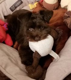 Miniature Schnauzer Puppies, Schnauzer Puppy, Schnauzers, Hershey Kisses Chocolate, Adorable Animals, Dogs, Schnauzer, Pet Dogs, Doggies