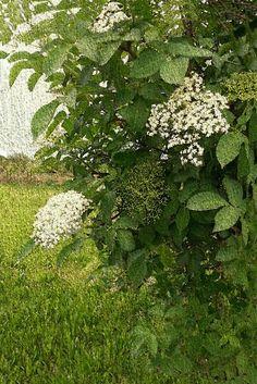 Irene Navarra / Visioni: Poesia / La terra, la visione - Sambuco in fiore.