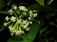 most beautiful night blooming flowers also produce pleasant smell to attract pollinators, some of these flowers bloom in the evening and some bloom at night