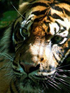 Zoo de Beauval - Tigre 11