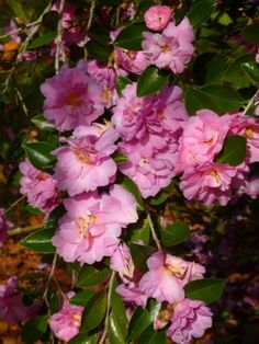 Showa-No-Sakae Sasanqua Camellia 6x8 feet