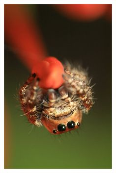 another cute jumping spider! <3