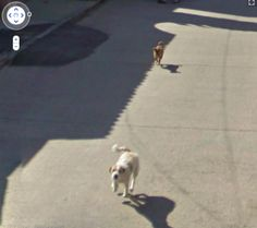 Dogs chasing the Google car!