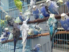 Detail Information About Budgerigar Parakeet Per Lovers Only For Pakistani and Indian New Comers Pet Lovers