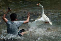FUNNY: Tourist Gets Beaten Up by Aggressive Geese in Guizhou