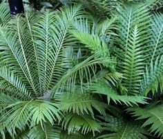 Fast growing perennial evergreen fern that can be used to create a tropical atmosphere.It has lacey arching mildly silver/green fronds that can reach up to 1 metre in length Plant Specifications Looks great. Country Landscaping, Modern Landscaping, Landscaping Plants, Landscaping Ideas, Trees To Plant, Plant Leaves, Evergreen Ferns, Lady Fern, Backyard Paradise
