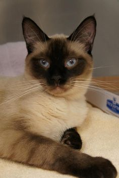 Meet Sinatra Kitty a Petfinder adoptable Siamese Cat | Los Alamitos, CA | Sinatra is a male 8 month old seal point siamese kitty. He is a beautiful boy who LOVES all...