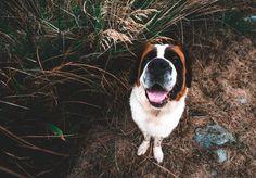 St Bernards, St Bernard Dogs, Dog Pin, Dog Boarding, Dogs Of The World, Dog Photography, Dog Lovers, Corgi, Saints