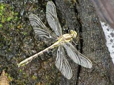 New dragonfly getting ready to fly: HBO Blogosphere -- 6.26.13 - Huckleberries Online - Spokesman.com - June 26, 2013