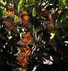 Monarch season is in October at Pacific Grove, CA by Monterey. See thousands of Monarch butterflies in the Eucalyptus trees!