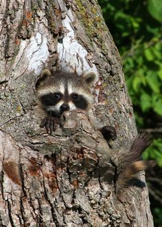 Raccoon (by Kate Sherry) All Gods Creatures, Cute Creatures, Beautiful Creatures, Animals Beautiful, Cute Baby Animals, Funny Animals, Cute Raccoon, Baby Raccoon, Mundo Animal