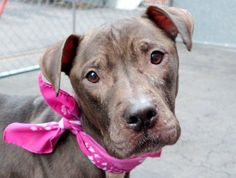 SWEET JELLY - ID#A1031952 I am an unaltered female, black Pit Bull Terrier mix. about 6 years old. I weigh 48 pounds. I was found in NY 10034. I have been at the shelter since Apr 02, 2015. For more information about Jelly, visit: Animal Care and Control of New York City - Manhattan Ask for information about animal ID number: A1031952 www.PetHarbor.com pet:NWYK.A1031952