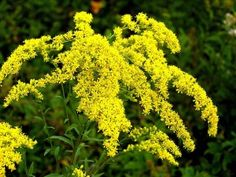 My article on the Kentucky state flower -Goldenrod.