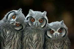 Three baby Southern White-faced Owls (Ptilopsis granti) by Linda Wright