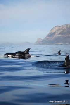 Orca's in False bay, off Simonstown, South Africa and only one hour from Franschhoek home of La Clé des Montagnes - four 5 star luxurious villas South Africa Holidays, Cape Town South Africa, Most Beautiful Cities, Beautiful Beaches, Wale, Out Of Africa, Kruger National Park, Africa Travel, Ocean Life