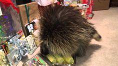 Teddy Bear the Porcupine's Christmas Morning Frolic Awwww too cute! :-)