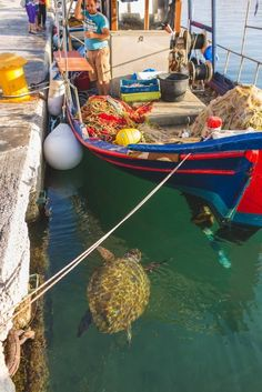 A loggerhead turtle in Argostoli port, waiting for the fisherman's treat. Greek Isles, Greece Islands, Greece Travel, Mykonos, Wonders Of The World, Island Life, Places To Go, Loggerhead Turtle, Homeland