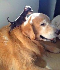 Chihuahua pup + Golden Retriever senior