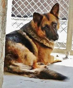 Senior GSD in need...please if you are near can u let this senior have some dignity in their final days??