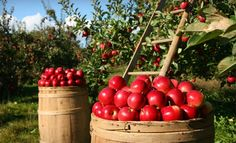 Pick-your-own at Eckert's Farm. Whether it be apples, peaches, blueberries, strawberries, blackberries, pumpkins or even Christmas trees, Eckert's is the place to go!  They have three locations, all a short drive away from downtown St. Louis. PINNED it, TRIED it, LOVED it.