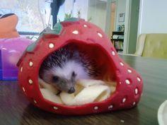 ♥ Pet Hedgehog ♥  Strawberry Hideaway - Hedgehog Central – Hedgehog pet care & owner forum