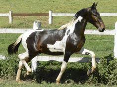 Dago do Repol - Campolina stallion