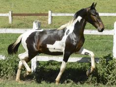 Dago do Repol - Campolina stallion Campolina, Portrait, Make Me Smile, Husky, Horses, Pets, Painting, Animals, Puppies