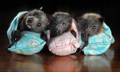 Baby bats in sleeping bags.