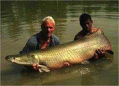 The Amazonian Arapaima is often considered the largest freshwater fish in the world. As its my favorite freshwater fish, I heard it has been critically endangered. It's like a living artifact.