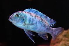 "FISH PROFILE : COBALT BLUE OB ZEBRA AFRICAN CICHLID ""BLUE BERRY"" Clown Loach, Blue Berry, African Cichlids, Fish Tank, Cobalt Blue, Berries, Profile, House, Animals"