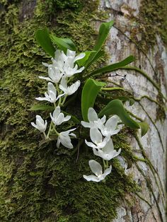 Low Cost Flowers Shipping And Delivery - An Anniversary Reward Without A Significant Selling Price Tag Sarcochilus Falcatus Rock Flowers, Cheap Flowers, Wild Flowers, Beautiful Flowers, Orchid Plants, Air Plants, Mini Orquideas, Miniature Orchids, Rare Orchids