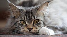 Wallpaper cat, fluffy, face, evil