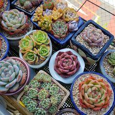 #succulent #succulentlove #succulentobsessed #plant #succulentobsession #cactus #succulents_only #succulents #succulentplant #plantgram #succulentgarden #gardening #succulentas#succulove #cacti #cactuslover #cooperi #hobby #conophytum #haworthia #echeveria #plantgarden #多肉 #多肉植物#다육#다육식물#가드닝 #다육스타그램#식물스타그램#취미 . . 해가 걸이대에 비추기 직전이라 사진이 어둡네...